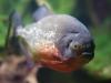 Piranha rouge